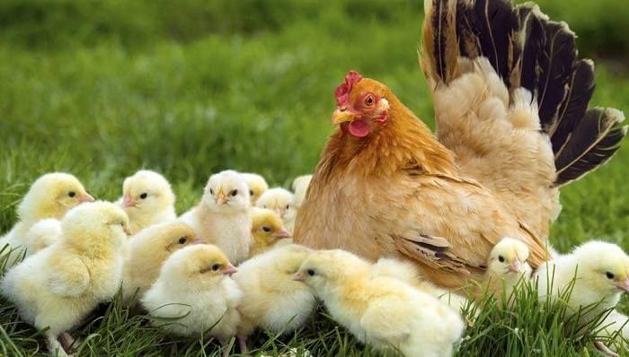 Con Gà là số mấy? Mơ thấy gà đánh đề số bao nhiêu?