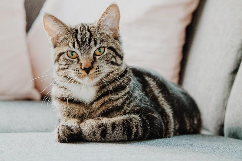 Nằm mơ thấy mèo, ăn mèo đánh đề con gì? Điềm tốt hay điềm xấu?