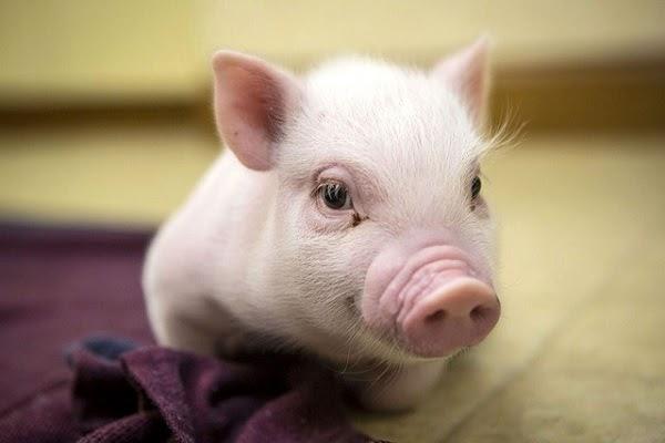 Nằm mơ thấy lợn đánh con gì? Và ý nghĩa của giấc mơ lợn